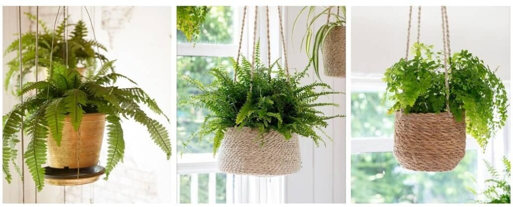 caring for hanging house plants