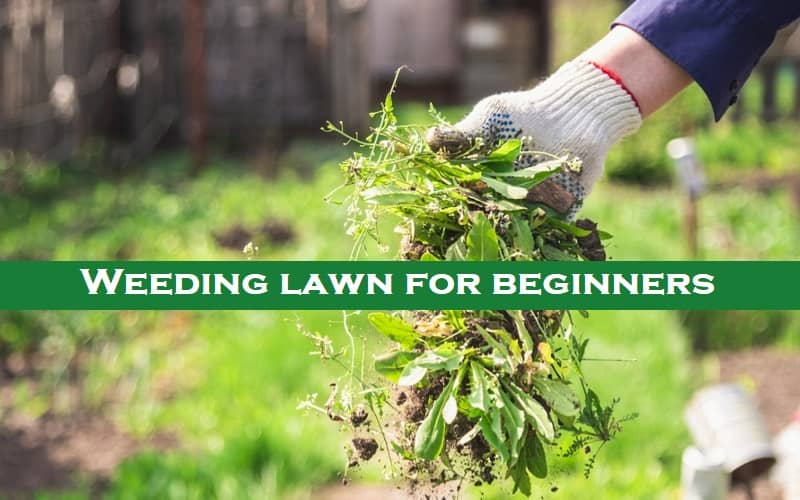weeding lawn for beginners