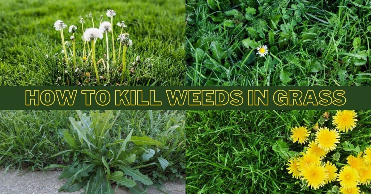 How to kill weeds in lawn without killing grass