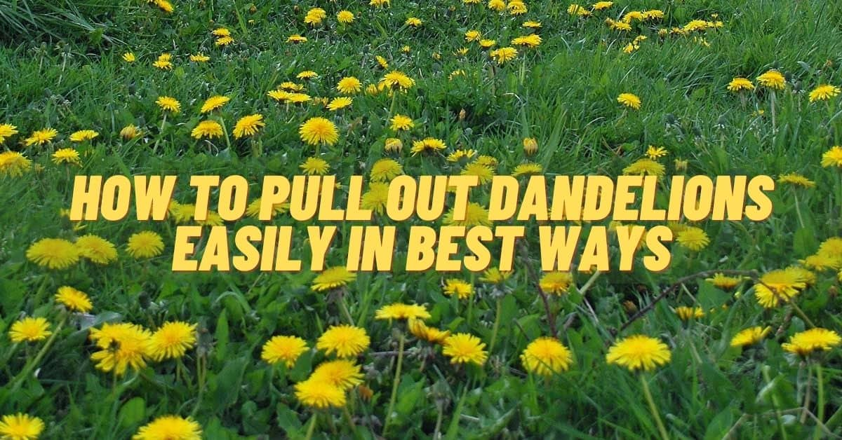 How to pull out dandelions